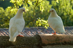 Two Dove Lovers In Evening Sunlight. Two dove lovers on a wall in the dappled evening sunlight royalty free stock photos
