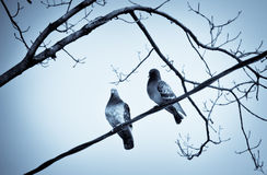 Two doves. Sitting on the wires through the branches of trees Stock Images