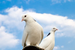 Two doves Stock Photography