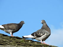 Two doves Royalty Free Stock Image