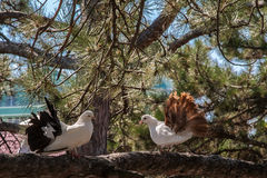 Two doves on the branch of a pine. Stock Photo