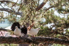 Two doves on the branch of a pine. Royalty Free Stock Image