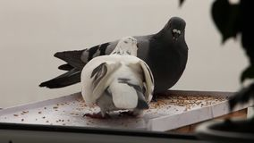 Two doves. At feeding trough stock footage