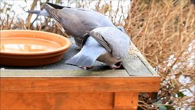 Two doves feeding, wood pigeon, winter. Feeding doves pigeon in winter stock footage