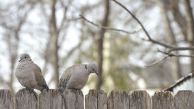 Two Doves on Fence. With trees in background Stock Images
