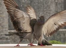 Two fighting doves stock photo
