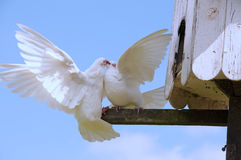 Two doves fighting Stock Image