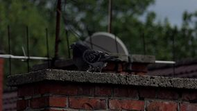 Two doves kiss each other on a plate covering a chimney of a house in slo-mo. A lovely view of two doves kissing each other on a plate covering a brick chimney stock video