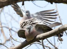 Two doves in love on the tree in nature.  royalty free stock photo