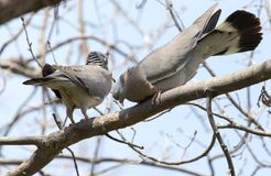 Two doves in love on the tree in nature.  stock photos