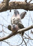 Two doves in love on the tree in nature.  royalty free stock images