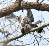 Two doves in love on the tree in nature.  royalty free stock image