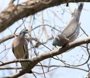 Two doves in love on the tree in nature.  stock photography