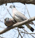 Two doves in love on the tree in nature.  stock images