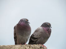 Two doves Stock Image