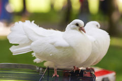 Two doves of peace and love. On the grass royalty free stock photos