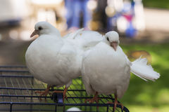 Two doves of peace and love. On the grass royalty free stock photo