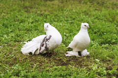 Two doves of peace and love. On the grass stock photo