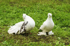 Two doves of peace and love. On the grass royalty free stock photography