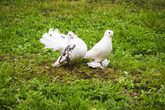 Two doves of peace and love. On the grass stock image