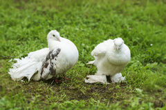 Two doves of peace and love. On the grass stock photos