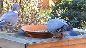 Two doves, pigeon, big, fodder, feeding bird food, winter, spring. Feeding birds with bird seed in winter stock footage