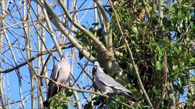 Two doves pigeon flirting in spring stock video footage