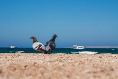 Two doves on a sandy shore morskoym show love for each other. Co Royalty Free Stock Image