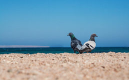 Two doves on a sandy shore morskoym show love for each other. Co Stock Photos