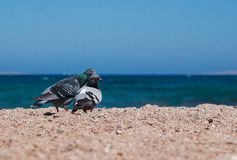 Two doves on a sandy shore morskoym show love for each other. Co Stock Photo