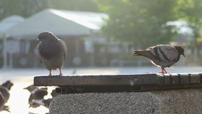 Two doves sit and walk on a concrete plate of some fence in slo-mo. An impressive view of several grey doves who sit and walk on a concrete plate of some stone stock video footage