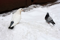 Two doves in the snow. Royalty Free Stock Photo
