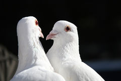Two doves Royalty Free Stock Images