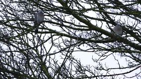 Two doves on tree branches on a rainy day. Two doves on tree branches on a rainy day stock video footage