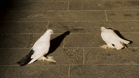 Two doves walking the city street, symbol of peace, birdwatching in park. Stock footage stock video