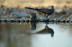 Two doves at a waterhole Royalty Free Stock Photography