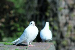 Two doves. Two white birds, looks like one isn& x27;t talking to the other one. Awkward Stock Photo
