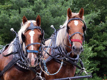Two draft horses rigged up. These two draft horses are in their rigs to pull a wagon through the countryside Royalty Free Stock Photo