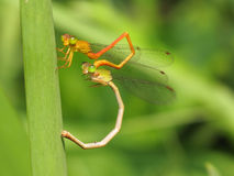 Two Dragonflies. Macro side view of two dragonflies with green nature background Stock Photos