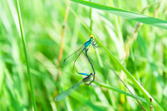 Two dragonflies. Who love each other Stock Image
