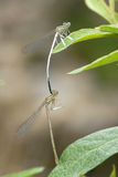 Two dragonflies. Mating in nature Royalty Free Stock Photos