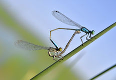 Two dragonflies Stock Photography