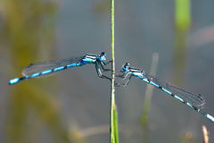 Two dragonflies. On one spear facing each other Stock Images
