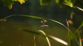 Two dragonflies copulating Stock Photo