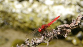 Two dragonflies stock video footage
