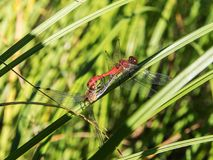 Two dragonflies on green grass. Close up Stock Image