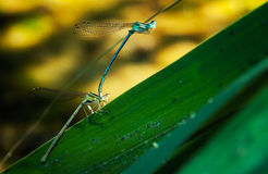 Two Dragonflies. On a green leaf Royalty Free Stock Photos