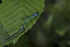 Two Dragonflies on a leaf. Two small blue dragonflies on a green leaf Royalty Free Stock Image