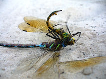 Two dragonflies. Lying on sand close up Stock Images