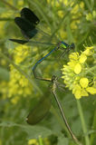 Two dragonflies making love to each other Stock Photos